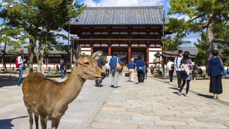 NARA, JAPAN - OCTOBER 13, 2015 -  sika deer live freely near a temple in Nara, Japan